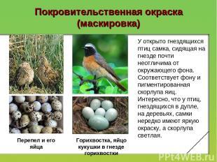 Покровительственная окраска (маскировка) У открыто гнездящихся птиц самка, сидящ