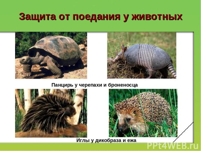 Защита от поедания у животных Панцирь у черепахи и броненосца Иглы у дикобраза и ежа
