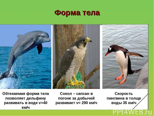 Форма тела Обтекаемая форма тела позволяет дельфину развивать в воде v=40 км/ч Сокол – сапсан в погоне за добычей развивает v= 290 км/ч Скорость пингвина в толще воды 35 км/ч