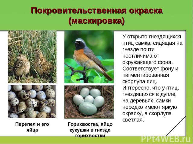 Покровительственная окраска (маскировка) У открыто гнездящихся птиц самка, сидящая на гнезде почти неотличима от окружающего фона. Соответствует фону и пигментированная скорлупа яиц. Интересно, что у птиц, гнездящихся в дупле, на деревьях, самки нер…
