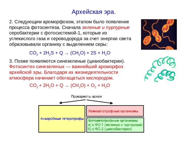 2. Следующим ароморфозом, этапом было появление процесса фотосинтеза. Сначала зеленые и пурпурные серобактерии с фотосистемой-1, которые из углекислого газа и сероводорода за счет энергии света образовывали органику с выделением серы: СО2 + 2Н2S + Q…