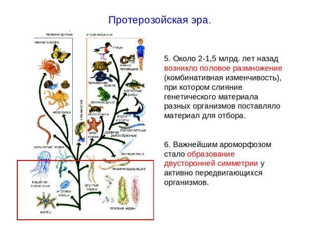 5. Около 2-1,5 млрд. лет назад возникло половое размножение (комбинативная изменчивость), при котором слияние генетического материала разных организмов поставляло материал для отбора. 6. Важнейшим ароморфозом стало образование двусторонней симметрии…