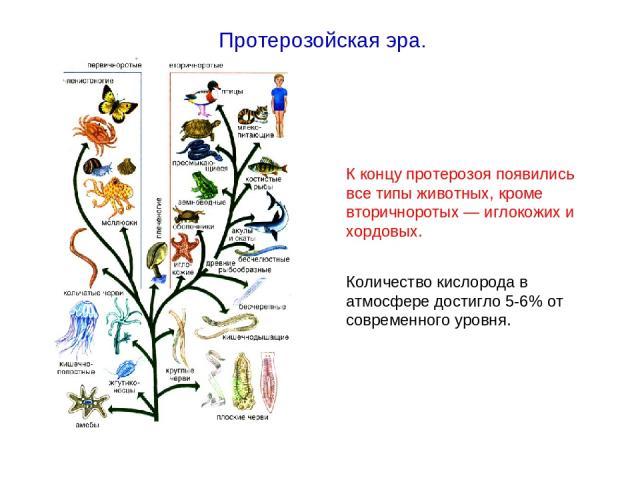 К концу протерозоя появились все типы животных, кроме вторичноротых — иглокожих и хордовых. Количество кислорода в атмосфере достигло 5-6% от современного уровня. Протерозойская эра.