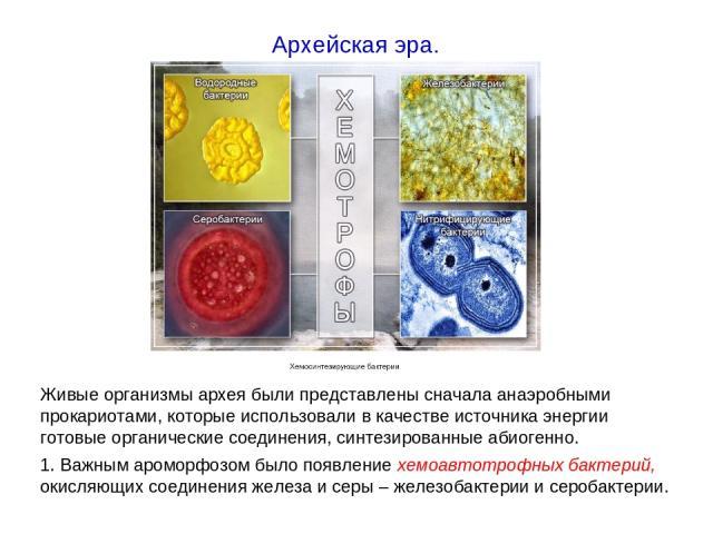 Живые организмы архея были представлены сначала анаэробными прокариотами, которые использовали в качестве источника энергии готовые органические соединения, синтезированные абиогенно. 1. Важным ароморфозом было появление хемоавтотрофных бактерий, ок…