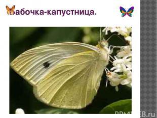 Бабочка-капустница.