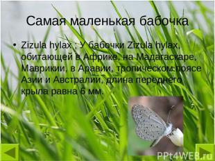 Самая маленькая бабочка Zizula hylax ; У бабочки Zizula hylax, обитающей в Африк