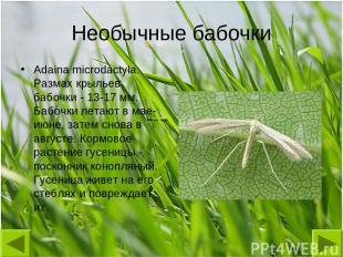 Необычные бабочки Adaina microdactyla. Размах крыльев бабочки - 13-17 мм. Бабочк