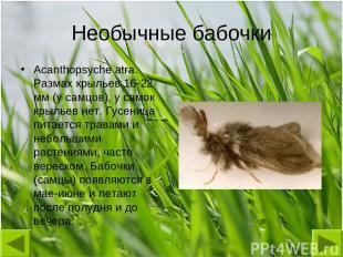 Необычные бабочки Acanthopsyche atra. Размах крыльев 16-22 мм (у самцов), у само