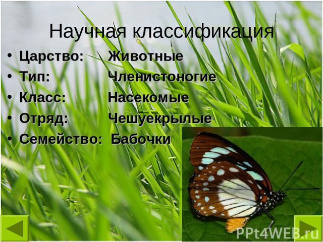 Научная классификация Царство: Животные Тип: Членистоногие Класс: Насекомые Отряд: Чешуекрылые Семейство: Бабочки