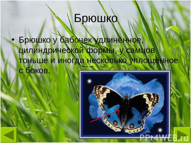 Брюшко Брюшко у бабочек удлинённое, цилиндрической формы, у самцов тоньше и иногда несколько уплощённое с боков.