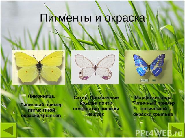 Лимонница. Типичный пример пигментной окраски крыльев Сатир. Прозрачные крылья почти полностью лишены чешуек Морфо киприда. Типичный пример оптической окраски крыльев Пигменты и окраска