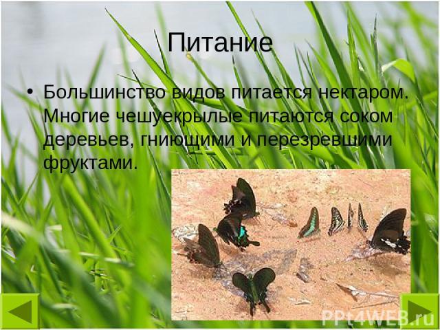 Питание Большинство видов питается нектаром. Многие чешуекрылые питаются соком деревьев, гниющими и перезревшими фруктами.