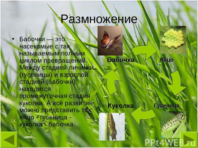 Размножение Бабочки — это насекомые с так называемым полным циклом превращений. Между стадией личинки (гусеницы) и взрослой стадией (бабочки) находится промежуточная стадия куколки. А всё развитие можно представить так: яйцо - гусеница - куколка - б…