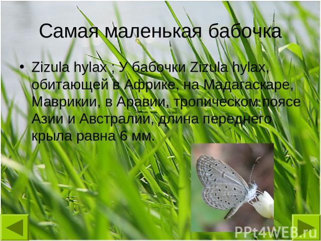 Самая маленькая бабочка Zizula hylax ; У бабочки Zizula hylax, обитающей в Африке, на Мадагаскаре, Маврикии, в Аравии, тропическом поясе Азии и Австралии, длина переднего крыла равна 6 мм.