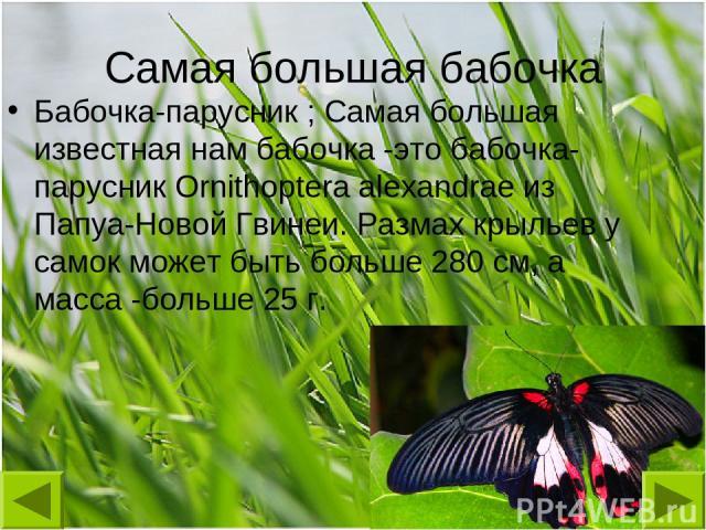 Самая большая бабочка Бабочка-парусник ; Самая большая известная нам бабочка -это бабочка-парусник Ornithoptera alexandrae из Папуа-Новой Гвинеи. Размах крыльев у самок может быть больше 280 см, а масса -больше 25 г.