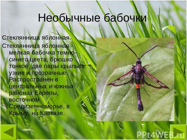 Необычные бабочки Стеклянница яблонная. Стеклянница яблонная - мелкая бабочка темно-синего цвета, брюшко тонкое, две пары крыльев узкие и прозрачные. Распространен в центральных и южных районах Европы, восточном Средиземноморье, в Крыму, на Кавказе.