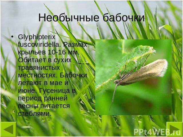Необычные бабочки Glyphipterix fuscoviridella. Размах крыльев 10-16 мм. Обитает в сухих травянистых местностях. Бабочки летают в мае и июне. Гусеница в период ранней весны питается стеблями.