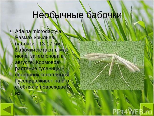 Необычные бабочки Adaina microdactyla. Размах крыльев бабочки - 13-17 мм. Бабочки летают в мае-июне, затем снова в августе. Кормовое растение гусеницы - посконник конопляный. Гусеница живет на его стеблях и повреждает их.