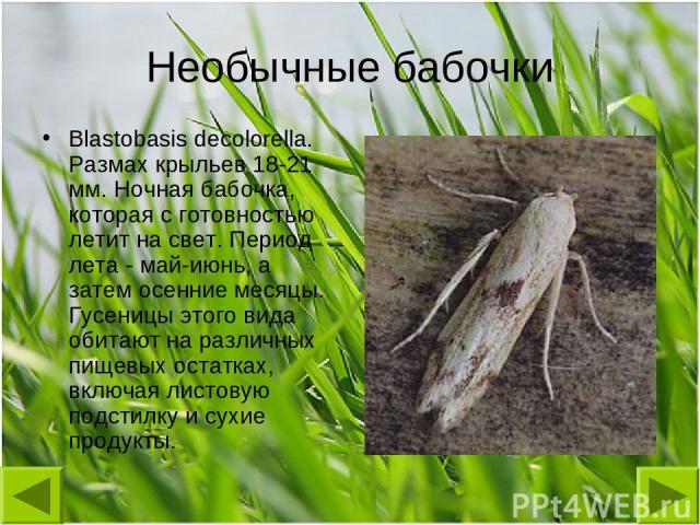 Необычные бабочки Blastobasis decolorella. Размах крыльев 18-21 мм. Ночная бабочка, которая с готовностью летит на свет. Период лета - май-июнь, а затем осенние месяцы. Гусеницы этого вида обитают на различных пищевых остатках, включая листовую подс…