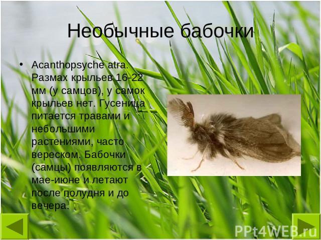 Необычные бабочки Acanthopsyche atra. Размах крыльев 16-22 мм (у самцов), у самок крыльев нет. Гусеница питается травами и небольшими растениями, часто вереском. Бабочки (самцы) появляются в мае-июне и летают после полудня и до вечера.