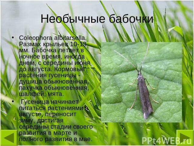 Необычные бабочки Coleophora albitarsella. Размах крыльев 10-13 мм. Бабочка летает в ночное время, иногда днем, с середины июня до августа. Кормовые растения гусеницы - душица обыкновенная, пахучка обыкновенная, шалфей, мята. Гусеница начинает питат…