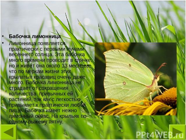 Бабочка лимонница Лимонница появляется практически с первыми лучами весеннего солнца. Эта бабочка много времени проводит в спячке, но и живёт она около 13 месяцев, что по меркам жизни этих крылатых красавиц очень даже много. Бабочка лимонница не стр…