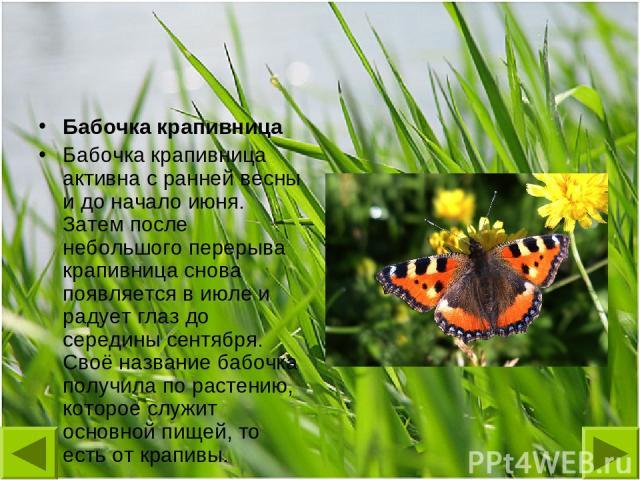 Бабочка крапивница Бабочка крапивница активна с ранней весны и до начало июня. Затем после небольшого перерыва крапивница снова появляется в июле и радует глаз до середины сентября. Своё название бабочка получила по растению, которое служит основной…