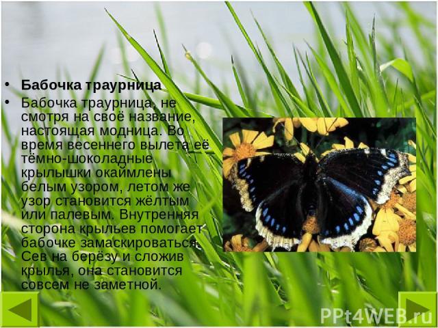 Бабочка траурница Бабочка траурница, не смотря на своё название, настоящая модница. Во время весеннего вылета её тёмно-шоколадные крылышки окаймлены белым узором, летом же узор становится жёлтым или палевым. Внутренняя сторона крыльев помогает бабоч…
