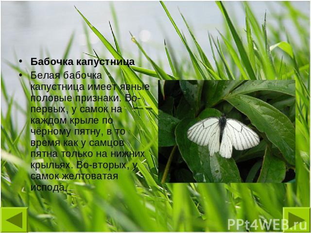Бабочка капустница Белая бабочка капустница имеет явные половые признаки. Во-первых, у самок на каждом крыле по чёрному пятну, в то время как у самцов пятна только на нижних крыльях. Во-вторых, у самок желтоватая испода.