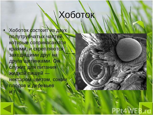 Хоботок Хоботок состоит из двух полутрубчатых частей, которые соприкасаются краями, и скрепляются заходящими друг на друга щетинками. Он служит для питания жидкой пищей— нектаром цветом, соком плодов и деревьев ит.п