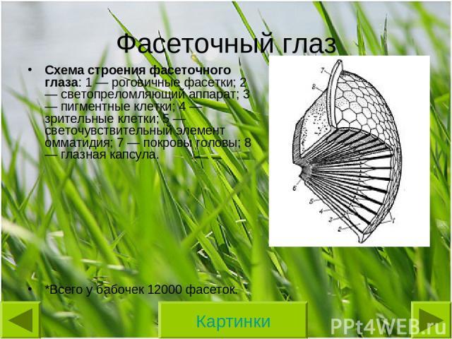Фасеточный глаз Схема строения фасеточного глаза: 1 — роговичные фасетки; 2 — светопреломляющий аппарат; 3 — пигментные клетки; 4 — зрительные клетки; 5 — светочувствительный элемент омматидия; 7 — покровы головы; 8 — глазная капсула. *Всего у бабоч…