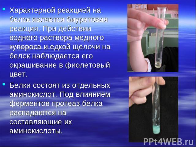 Характерной реакцией на белок является биуретовая реакция. При действии водного раствора медного купороса и едкой щелочи на белок наблюдается его окрашивание в фиолетовый цвет. Белки состоят из отдельных аминокислот. Под влиянием ферментов протеаз б…