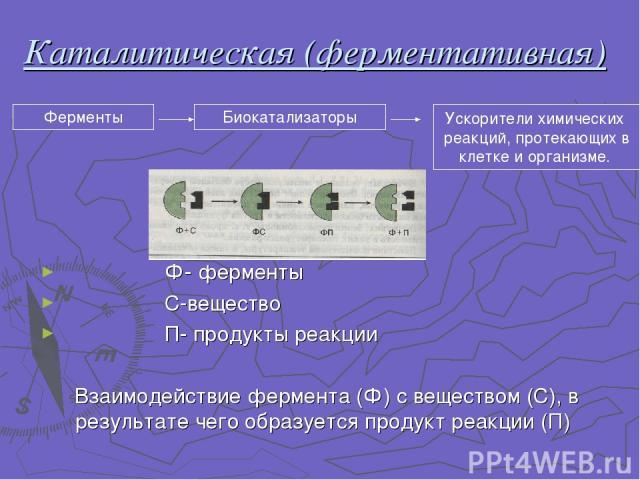 Каталитическая (ферментативная) Ф- ферменты С-вещество П- продукты реакции Взаимодействие фермента (Ф) с веществом (С), в результате чего образуется продукт реакции (П) Ферменты Биокатализаторы Ускорители химических реакций, протекающих в клетке и о…