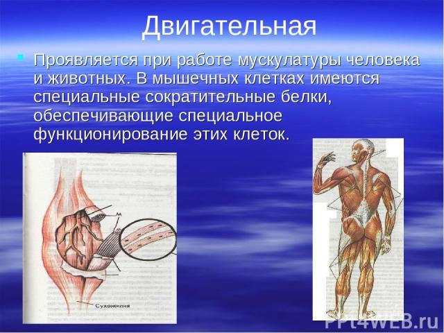 Двигательная Проявляется при работе мускулатуры человека и животных. В мышечных клетках имеются специальные сократительные белки, обеспечивающие специальное функционирование этих клеток.