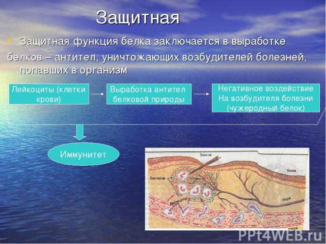 Защитная Защитная функция белка заключается в выработке белков – антител, уничтожающих возбудителей болезней, попавших в организм Лейкоциты (клетки крови) Выработка антител белковой природы Негативное воздействие На возбудителя болезни (чужеродный б…