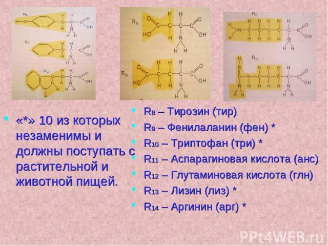 «*» 10 из которых незаменимы и должны поступать с растительной и животной пищей. R8 – Тирозин (тир) R9 – Фенилаланин (фен) * R10 – Триптофан (три) * R11 – Аспарагиновая кислота (анс) R12 – Глутаминовая кислота (глн) R13 – Лизин (лиз) * R14 – Аргинин…