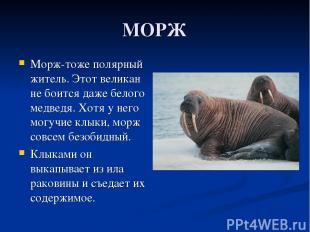 МОРЖ Морж-тоже полярный житель. Этот великан не боится даже белого медведя. Хотя