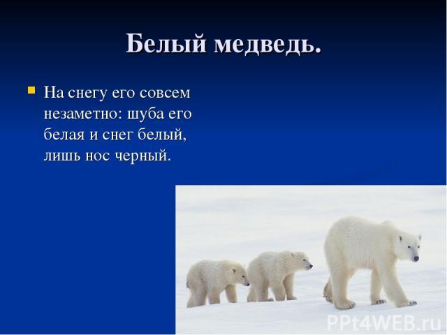 Белый медведь. На снегу его совсем незаметно: шуба его белая и снег белый, лишь нос черный.