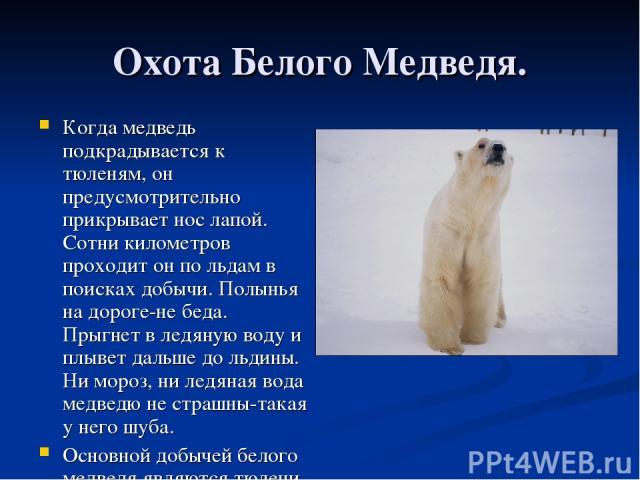 Охота Белого Медведя. Когда медведь подкрадывается к тюленям, он предусмотрительно прикрывает нос лапой. Сотни километров проходит он по льдам в поисках добычи. Полынья на дороге-не беда. Прыгнет в ледяную воду и плывет дальше до льдины. Ни мороз, н…