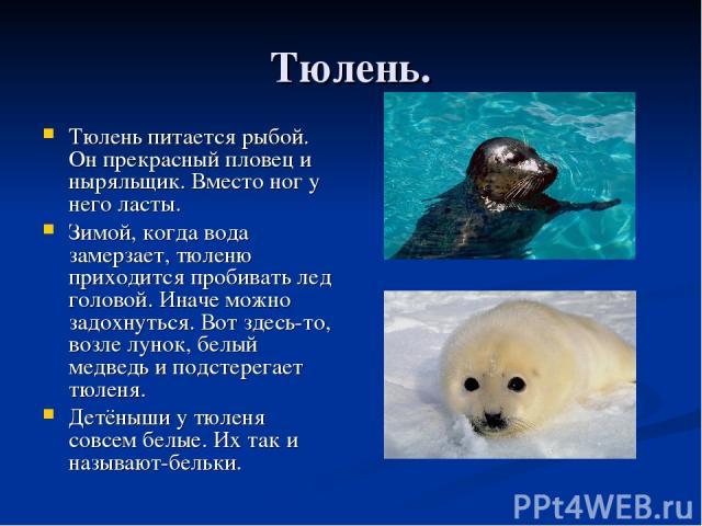 Тюлень. Тюлень питается рыбой. Он прекрасный пловец и ныряльщик. Вместо ног у него ласты. Зимой, когда вода замерзает, тюленю приходится пробивать лед головой. Иначе можно задохнуться. Вот здесь-то, возле лунок, белый медведь и подстерегает тюленя. …