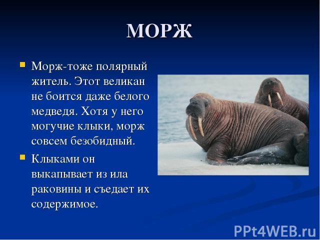 МОРЖ Морж-тоже полярный житель. Этот великан не боится даже белого медведя. Хотя у него могучие клыки, морж совсем безобидный. Клыками он выкапывает из ила раковины и съедает их содержимое.