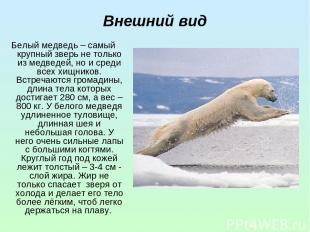 Внешний вид Белый медведь – самый крупный зверь не только из медведей, но и сред