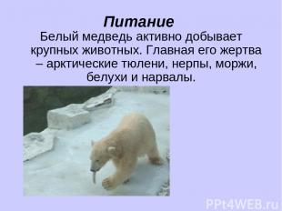Питание Белый медведь активно добывает крупных животных. Главная его жертва – ар