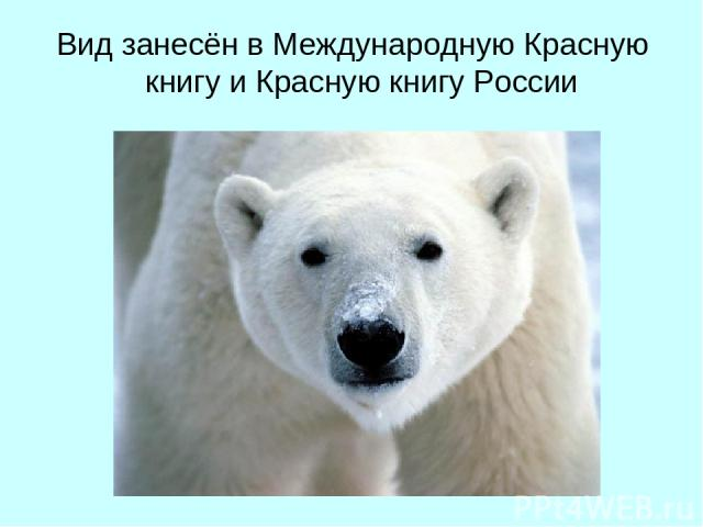 Вид занесён в Международную Красную книгу и Красную книгу России