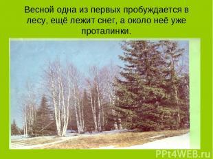 Весной одна из первых пробуждается в лесу, ещё лежит снег, а около неё уже прота