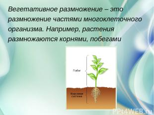 Вегетативное размножение – это размножение частями многоклеточного организма. На