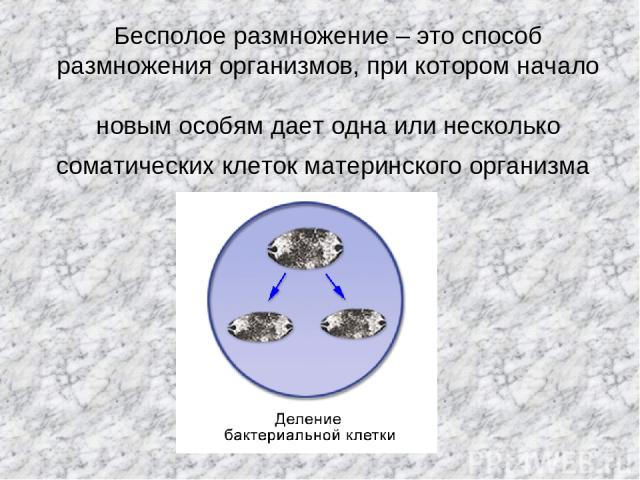 Бесполое размножение – это способ размножения организмов, при котором начало новым особям дает одна или несколько соматических клеток материнского организма