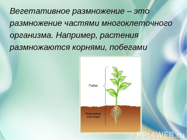 Вегетативное размножение – это размножение частями многоклеточного организма. Например, растения размножаются корнями, побегами