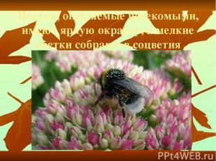 Цветки, опыляемые насекомыми, имеют яркую окраску, а мелкие цветки собраны в соц