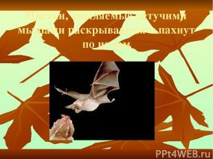 Цветки, опыляемые летучими мышами раскрываются и пахнут по ночам